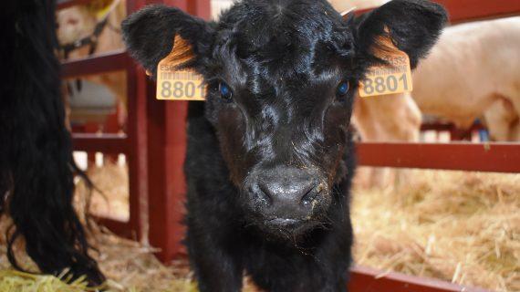 Javier Iglesias: 'Salamanca es la provincia con más cabezas de ganado vacuno'